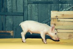 Cute funny pig royalty free stock images