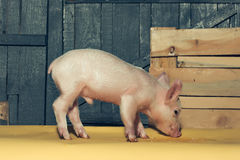 Cute funny pig stock photos