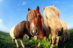 Cute funny pony via fish-eye Royalty Free Stock Photography