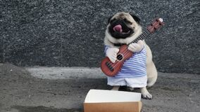Cute funny pug dog earning with playing music on guitar on the city street, beg money