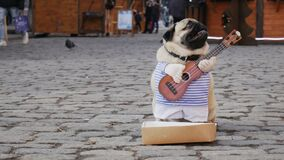 Cute funny pug dog earning with playing music wearing in costume with guitar on the city street