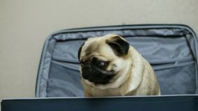 Cute funny pug dog hiding and sitting in the suitcase, owner opens the suitcase and the dog pulls out
