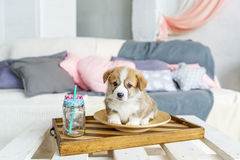 Cute funny puppy dog in plate at home stock image