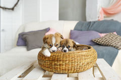 Cute funny puppy dogs in wicker basket at home Royalty Free Stock Images