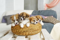 Cute funny puppy dogs in wicker basket at home Stock Images