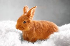 Cute funny rabbit on blanket. Cute funny rabbit on fluffy blanket Stock Photo