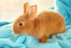 Cute funny rabbit. On blue blanket Royalty Free Stock Images