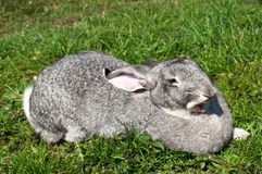 A cute funny rabbit on a grass Royalty Free Stock Photography