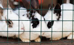 Cute funny rabbits in a cage closeup. domestic fluffy pets. animal protection. Cute funny rabbits in a cage closeup. domestic fluffy pets stock photo