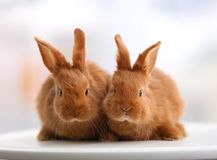 Cute funny rabbits on table. At home Stock Images