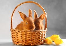 Cute funny rabbits in wicker basket with tulips. On wooden table Royalty Free Stock Photos