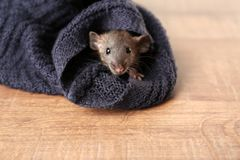 Cute funny rat hiding in sweater sleeve lying Royalty Free Stock Photos