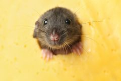 Cute funny rat looking out of hole in cheese. Closeup Stock Photo
