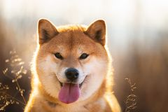Cute and funny red Shiba inu dog with tonque hanging out sitting in the field at sunset. Close-up portrait of a cute red dog breed Shiba inu with tonque hanging royalty free stock image