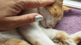Cute funny red-white cat on the blanket. Happy red cat kitten likes being stroked by woman`s hand. Cute funny red-white cat on the blanket, close up, dynamic stock video footage