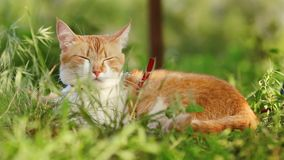 Cute funny red white cat in red collar relaxing on the green grass in the summer garden. Sunset, dolly shot. Shallow depth of the field, 50 fps stock video footage