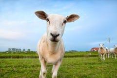 Cute funny sheep close up Royalty Free Stock Photos