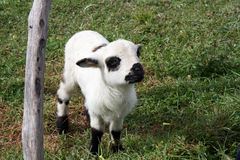 Cute young sheep Stock Photography
