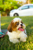 Cute funny shih tzu breed dog outdoors Royalty Free Stock Photo