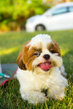Cute funny shih tzu breed dog outdoors Stock Photo