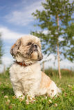 Cute funny shih tzu. Breed dog outdoors in a park stock photography