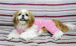 Cute Funny Shihtzu Smiling Royalty Free Stock Image