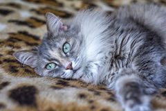 Cute funny siberian gray cat Relaxing, lying on the plaid, domestic cat, resting, Royalty Free Stock Image
