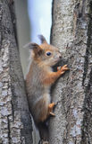 Cute funny squirrel sits among the trees in the forest royalty free stock photos
