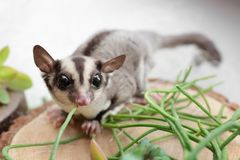 Cute funny sugar glider on decorative stub. Against light background, closeup royalty free stock photography