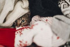 Free Cute Funny Tabby Cat Hiding In Sweaters, Space For Text. Kitty M Stock Images - 106995854