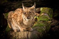 Cute fur Eurasian lynx, Lynx lynx animal in habitat. royalty free stock photo