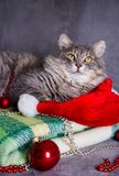 Cute furry home cat with Santa hat, Christmas balls and beads on Royalty Free Stock Images