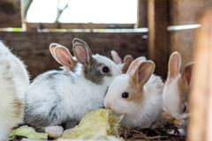 Cute and furry baby bunnies eating cabbage. Farm animals stock photos
