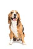 Cute furry beagle dog sitting Stock Image