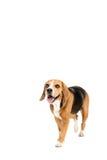 Cute furry beagle dog walking Royalty Free Stock Photography