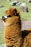 Cute furry brown alpaca stock photo