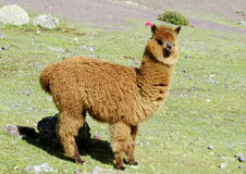 Cute furry brown alpaca portrait stock photo