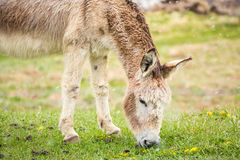Cute, furry donkey. Eating grass Royalty Free Stock Image