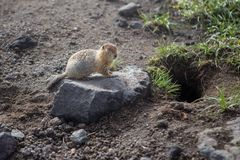 Cute furry ground squirrel sitting near the hole. At Kamchatka near the Avachinsky volcano in summer Royalty Free Stock Photography