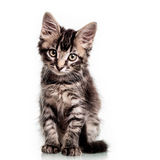 Cute Furry Kitten Stock Photos