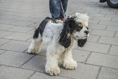 Cute, furry little dog Royalty Free Stock Images