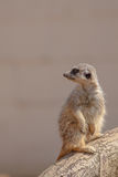 Cute furry meerkat. Nature wildlfie image with copy space. Cute furry meerkat. Nature wildlfie image with plain background copy space Stock Image