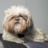 Cute furry pet dog lying down portrait Royalty Free Stock Photography