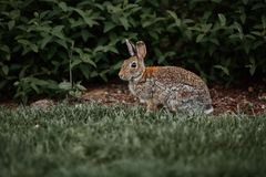 Cute furry rabbit bunny easter outdoor wild. Animal Royalty Free Stock Photo