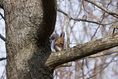 Cute furry red squirrel sits on the branch and eats an acorn. Royalty Free Stock Image