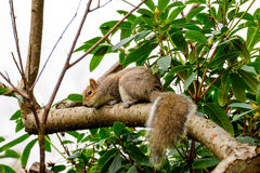 Cute and furry squirrel climbing up a tree Stock Image