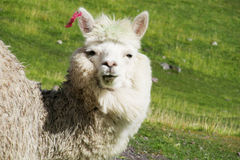 Cute furry white alpaca portrait royalty free stock photo