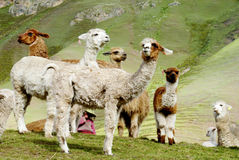 Cute furry white alpacas and lamas royalty free stock photo