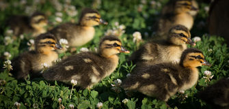 Cute fuzzy ducklings. Ducklings in a field of clover Stock Images