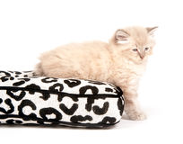 Cute fuzzy kitten on a pillow Stock Images